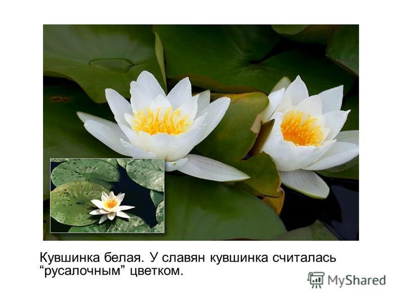 Кувшинка белая. У славян кувшинка считалась русалочным цветком.