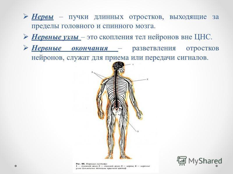 Нервы – пучки длинных отростков, выходящие за пределы головного и спинного мозга. Нервные узлы – это скопления тел нейронов вне ЦНС. Нервные окончания – разветвления отростков нейронов, служат для приема или передачи сигналов.