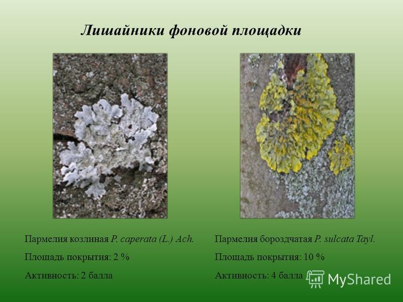 Лишайники фоновой площадки Пармелия козлиная P. caperata (L.) Ach. Площадь покрытия: 2 % Активность: 2 балла Пармелия бороздчатая P. sulcata Tayl. Площадь покрытия: 10 % Активность: 4 балла