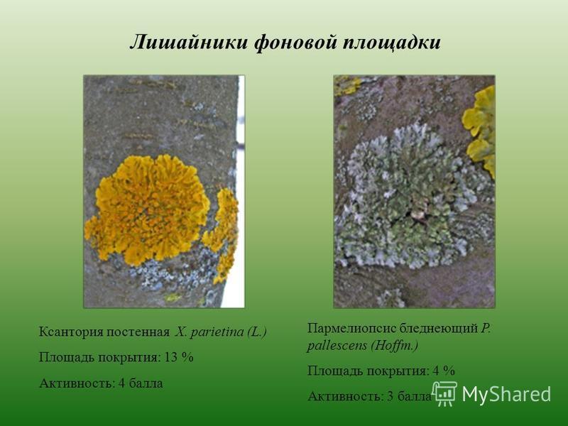 Лишайники фоновой площадки Ксантория постенная X. parietina (L.) Площадь покрытия: 13 % Активность: 4 балла Пармелиопсис бледнеющий P. pallescens (Hoffm.) Площадь покрытия: 4 % Активность: 3 балла