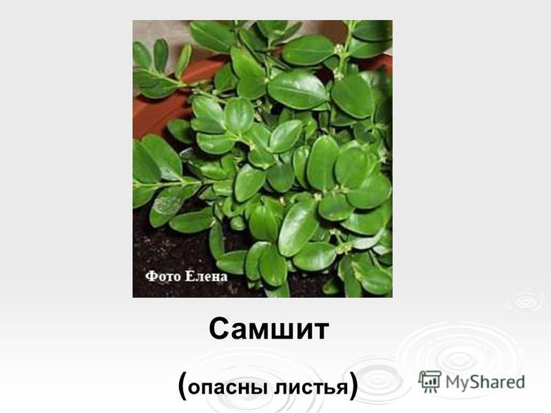 Самшит ( опасны листья )