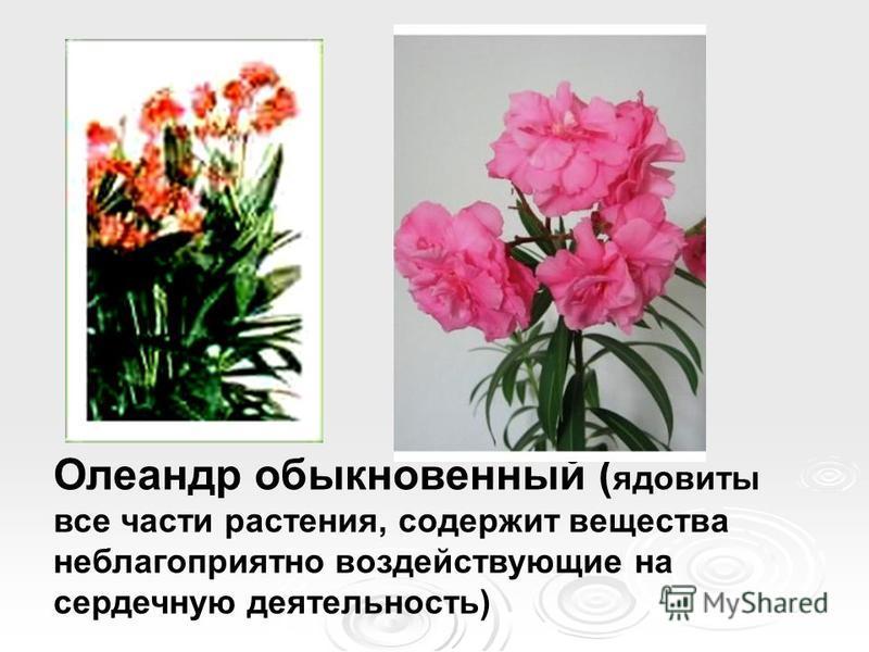 Олеандр обыкновенный ( ядовиты все части растения, содержит вещества неблагоприятно воздействующие на сердечную деятельность)