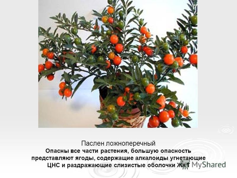 Паслен ложноперечный Опасны все части растения, большую опасность представляют ягоды, содержащие алкалоиды угнетающие ЦНС и раздражающие слизистые оболочки ЖКТ