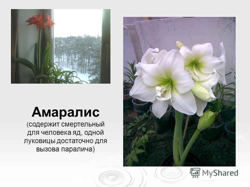 Амаралис ( содержит смертельный для человека яд, одной луковицы достаточно для вызова паралича)