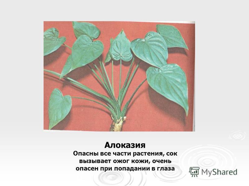 Алоказия Опасны все части растения, сок вызывает ожог кожи, очень опасен при попадании в глаза