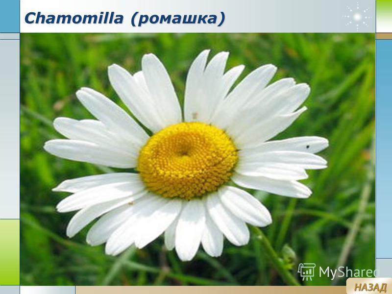 Company Logo www.themegallery.com Chamomilla (ромашка)