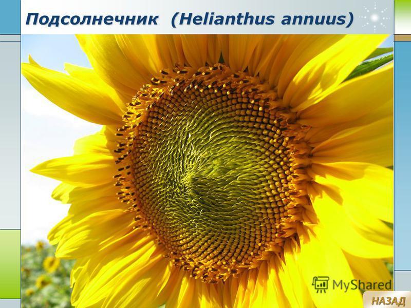Company Logo www.themegallery.com Подсолнечник (Helianthus annuus)