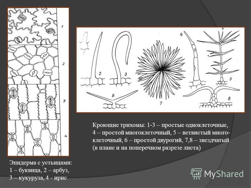 Эпидерма с устьицами: 1 – буквица, 2 – арбуз, 3 – кукуруза, 4 - ирис Кроющие трихомы: 1-3 – простые одноклеточные, 4 – простой многоклеточный, 5 – ветвистый много- клеточный, 6 – простой двурогий, 7,8 – звездчатый (в плане и на поперечном разрезе лис