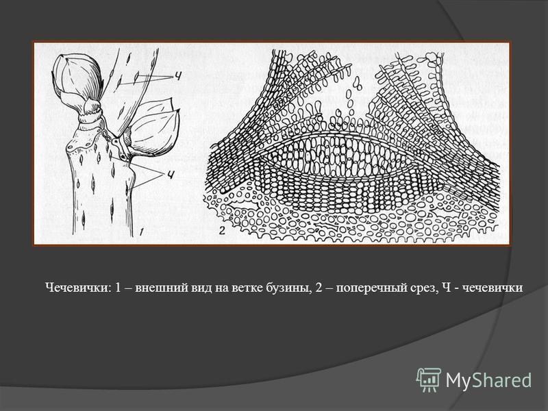 Чечевички: 1 – внешний вид на ветке бузины, 2 – поперечный срез, Ч - чечевички