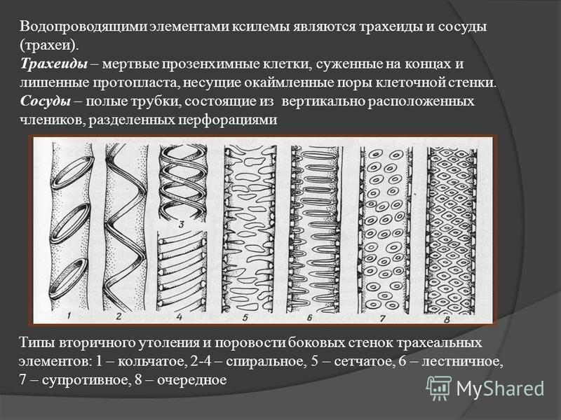 Водопроводящими элементами ксилемы являются трахеиды и сосуды (трахеи). Трахеиды – мертвые прозенхимные клетки, суженные на концах и лишенные протопласта, несущие окаймленные поры клеточной стенки. Сосуды – полые трубки, состоящие из вертикально расп