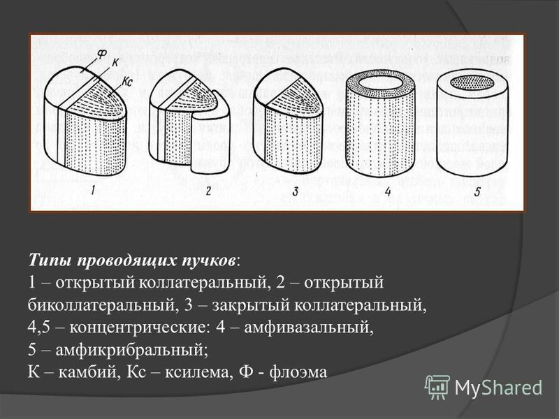 Типы проводящих пучков: 1 – открытый коллатеральный, 2 – открытый биколлатеральный, 3 – закрытый коллатеральный, 4,5 – концентрические: 4 – амфивазальный, 5 – амфикрибральный; К – камбий, Кс – ксилема, Ф - флоэма