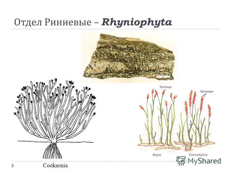 Отдел Риниевые – Rhyniophyta Cooksonia