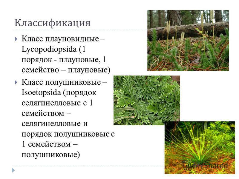 Классификация Класс плауновидные – Lycopodiopsida (1 порядок - плауновые, 1 семейство – плауновые) Класс полушниковые – Isoetopsida (порядок селягинелловые с 1 семейством – селягинелловые и порядок полушниковые с 1 семейством – полушниковые)