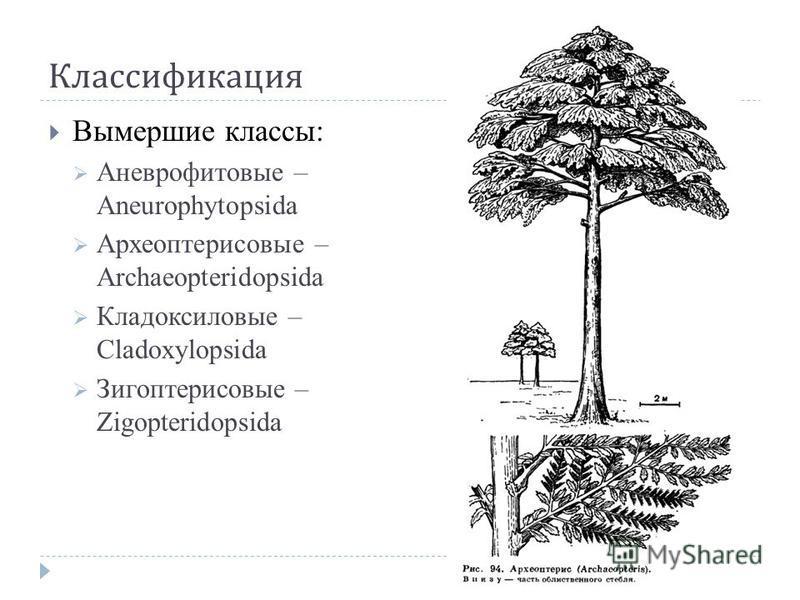 Классификация Вымершие классы: Аневрофитовые – Aneurophytopsida Археоптерисовые – Archaeopteridopsida Кладоксиловые – Cladoxylopsida Зигоптерисовые – Zigopteridopsida