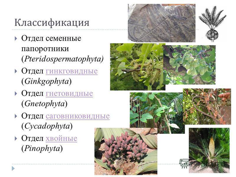 Классификация Отдел семенные папоротники (Pteridospermatophyta) Отдел гинкго видные (Ginkgophyta)гинкго видные Отдел гнетовидные (Gnetophyta)гнетовидные Отдел саговниковидные (Cycadophyta)саговниковидные Отдел хвойные (Pinophyta)хвойные