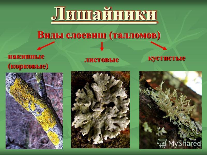 Лишайники Лишайники Виды слоевищ (талломов) накипные(корковые) листовые кустистые