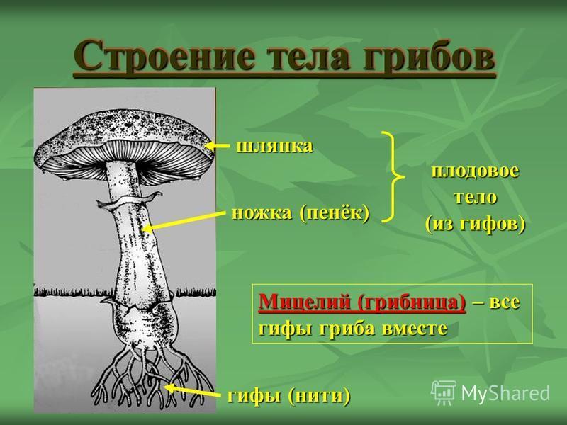 Строение тела грибов ножка (пенёк) шляпка гифы (нити) плодовое тело (из гифов) Мицелий (грибница) – все гифы гриба вместе