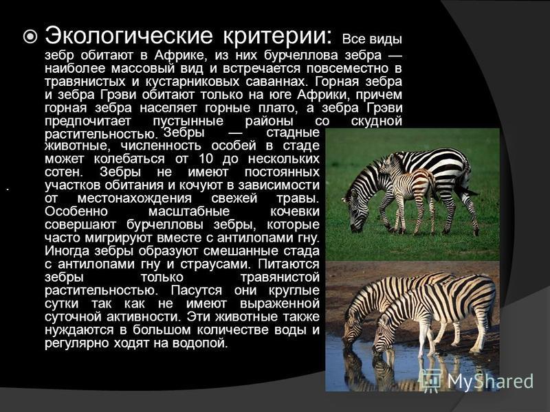 Экологические критерии: Все виды зебр обитают в Африке, из них бурчеллова зебра наиболее массовый вид и встречается повсеместно в травянистых и кустарниковых саваннах. Горная зебра и зебра Грэви обитают только на юге Африки, причем горная зебра насел