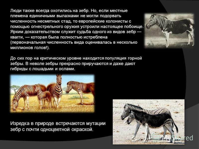 Люди также всегда охотились на зебр. Но, если местные племена единичными вылазками не могли подорвать численность несметных стад, то европейские колонисты с помощью огнестрельного оружия устроили настоящее побоище. Ярким доказательством служит судьба