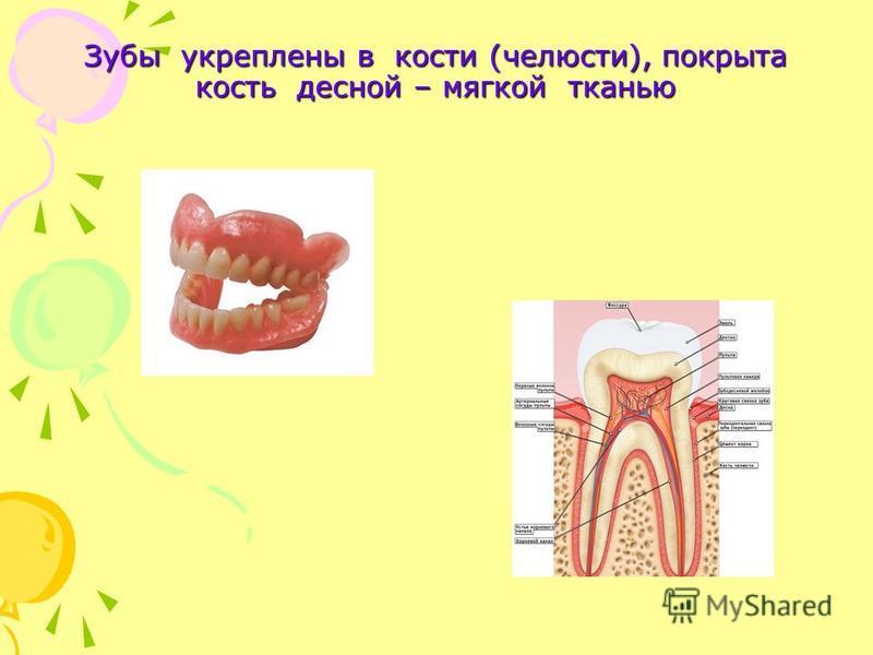 Зубы укреплены в кости (челюсти), покрыта кость десной – мягкой тканью