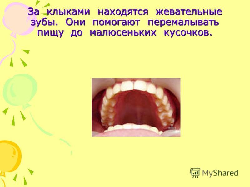 За клыками находятся жевательные зубы. Они помогают перемалывать пищу до малюсеньких кусочков.