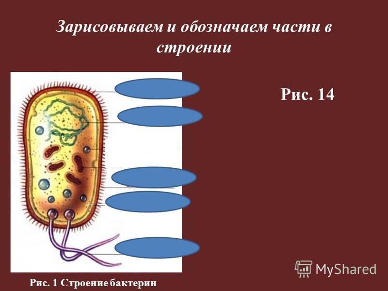 Зарисовываем и обозначаем части в строении цитоплазма Рис. 14 Рис. 1 Строение бактерии