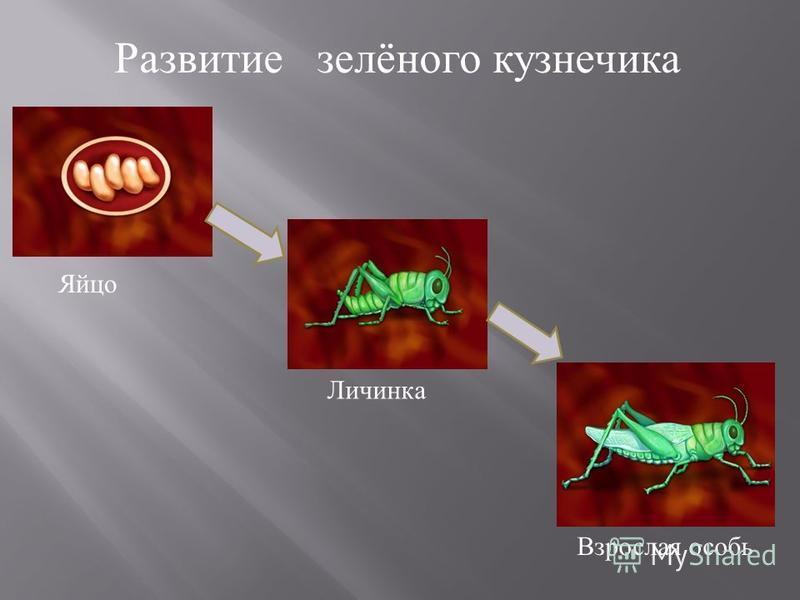 Развитие зелёного кузнечика Яйцо Личинка Взрослая особь