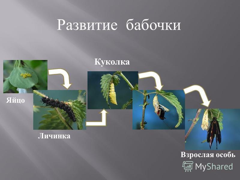 Развитие бабочки Яйцо Личинка Куколка Взрослая особь