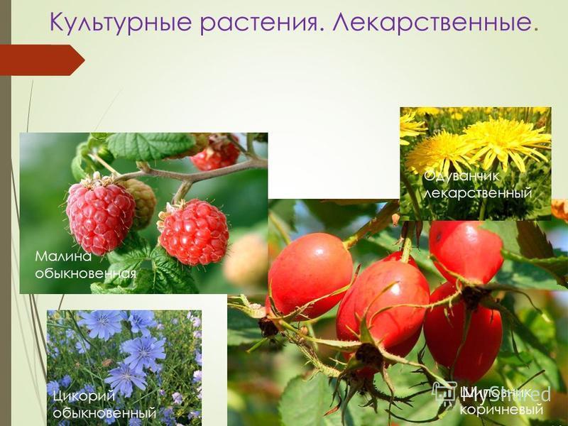 Культурные растения. Лекарственные. Малина обыкновенная Шиповник коричневый Одуванчик лекарственный Цикорий обыкновенный