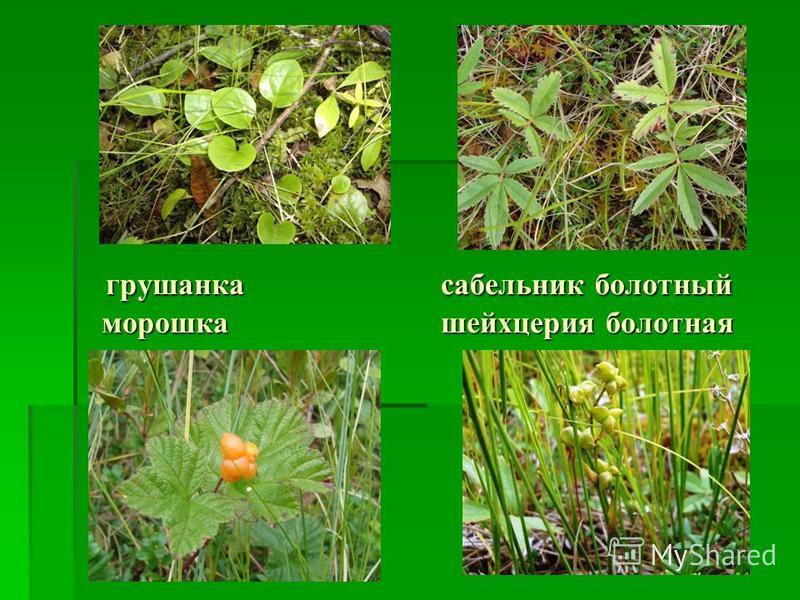 грушанка сабельник болотный морошка шейхцерия болотная грушанка сабельник болотный морошка шейхцерия болотная