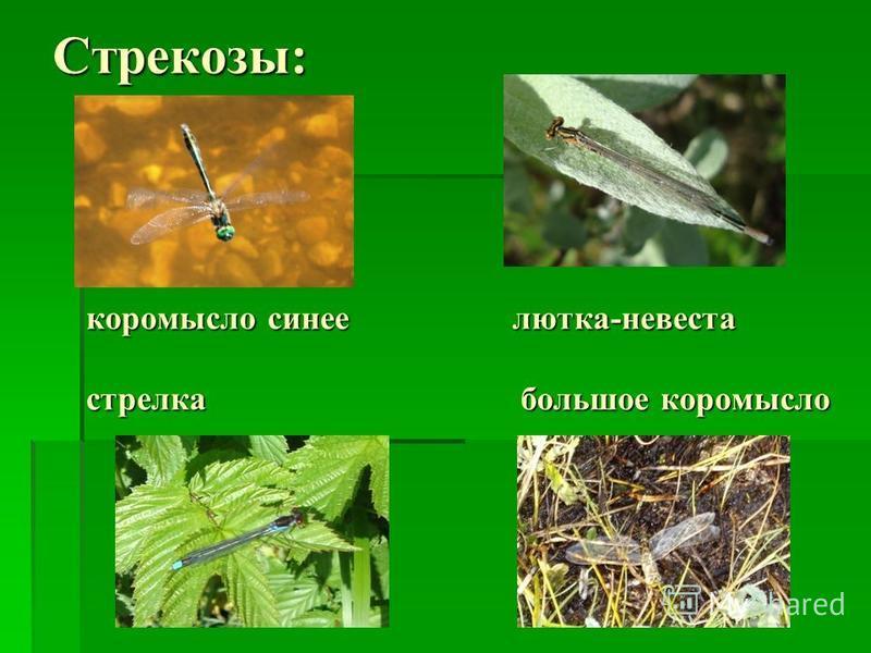 Стрекозы: коромысло синее лютка-невеста стрелка большое коромысло