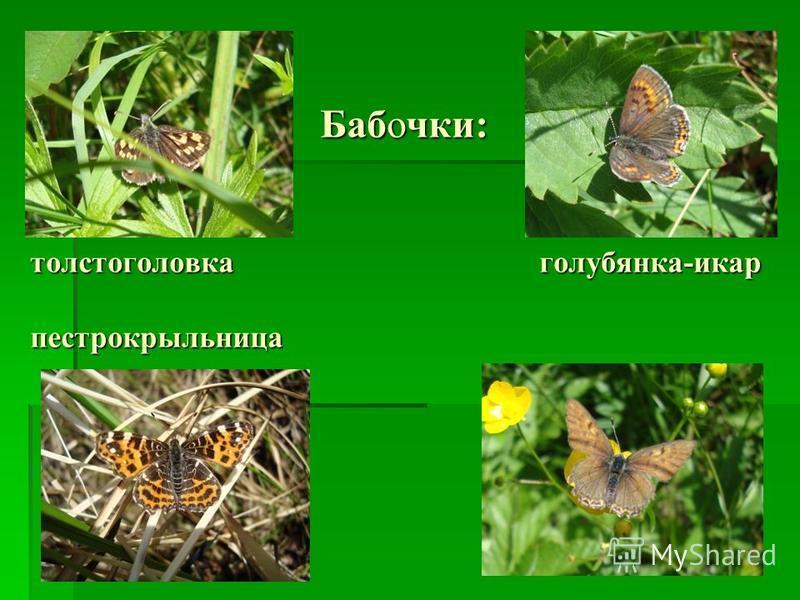 Бабочки: толстоголовка голубянка-икар пестрокрыльница Бабочки: толстоголовка голубянка-икар пестрокрыльница