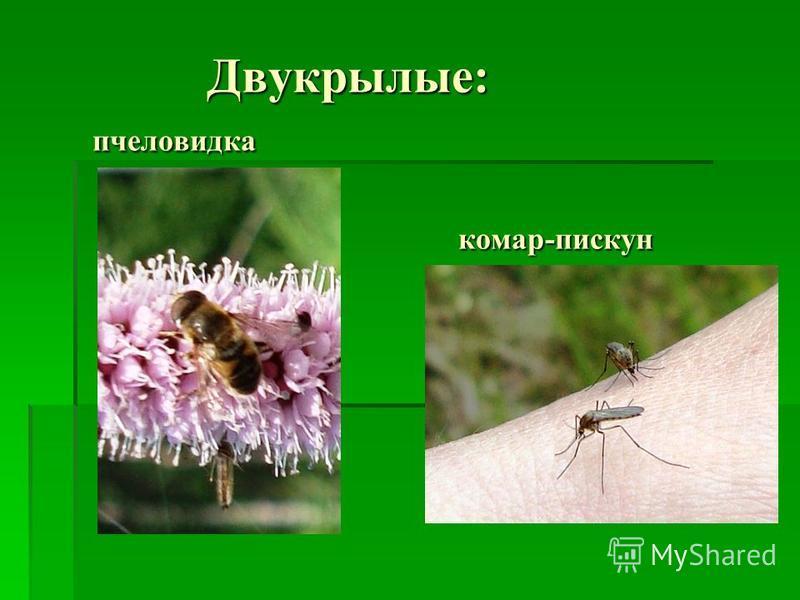 Двукрылые: пчеловидка комар-пискун Двукрылые: пчеловидка комар-пискун
