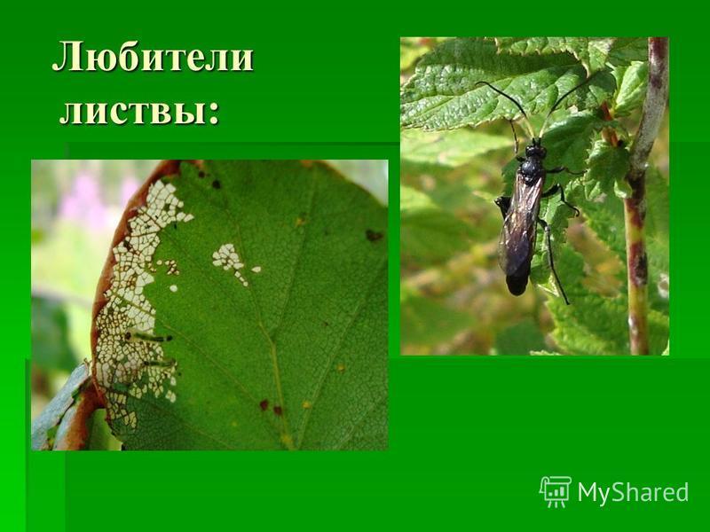 Любители листвы: Любители листвы: