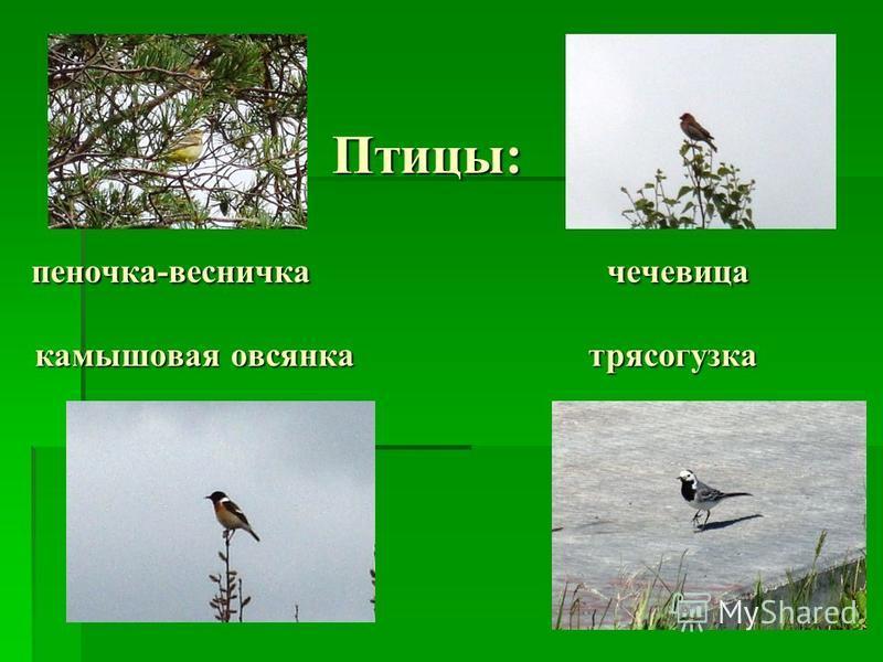 Птицы: пеночка-весничка чечевица камышовая овсянка трясогузка Птицы: пеночка-весничка чечевица камышовая овсянка трясогузка