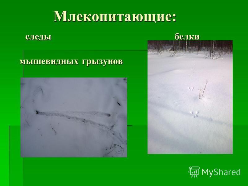 Млекопитающие: следы белки мышевидных грызунов Млекопитающие: следы белки мышевидных грызунов