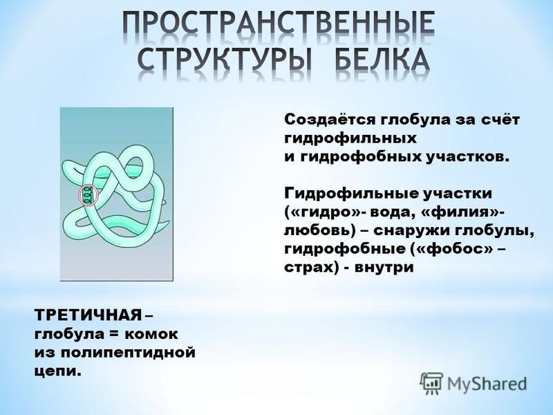 ТРЕТИЧНАЯ – глобула = комок из полипептидной цепи. Создаётся глобула за счёт гидрофильных и гидрофобных участков. Гидрофильные участки («гидро»- вода, «филия»- любовь) – снаружи глобулы, гидрофобные («фобос» – страх) - внутри