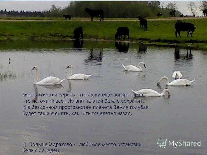 Очень хочется верить, что люди ещё повзрослеют, Что источник всей Жизни на этой Земле сохранят, И в бездонном пространстве планета Земля голубая Будет так же сиять, как и тысячелетья назад. Д. Большебадраково – любимое место остановки белых лебедей.