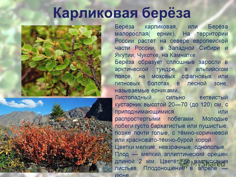 Кароликовая берёза Берёза ка́роликовая, или Берёза малого́слая( ерник). На территории России растёт на севере европейской части России, в Западной Сибири и Якутии, Чукотке, на Камчатке. Берёза образует сплошные заросли в арктической тундре, в альпийс