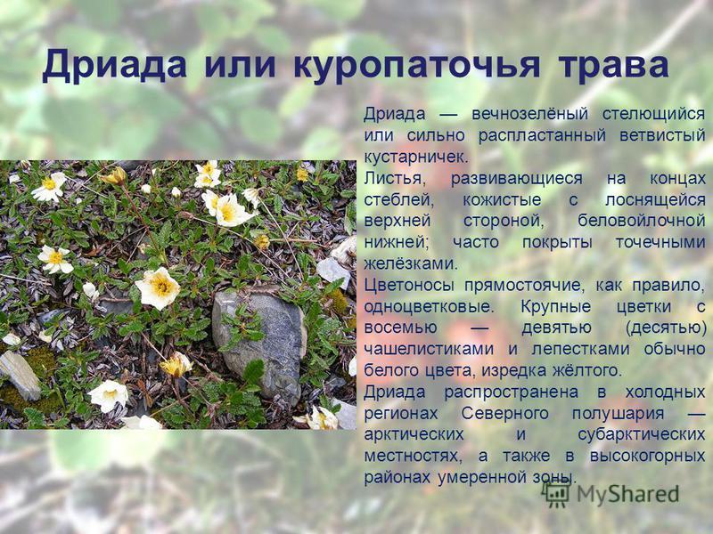 Дриада или куропаточья трава Дриада вечнозелёный стелющийся или сильно распластанный ветвистый кустарничек. Листья, развивающиеся на концах стеблей, кожистые с лоснящейся верхней стороной, беловойлочной нижней; часто покрыты точечными желёзками. Цвет
