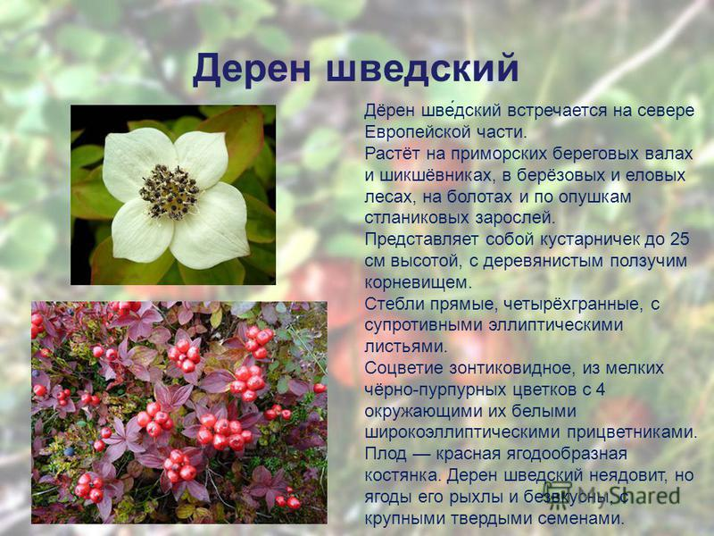 Дерен шведетский Дёрен шве́детский встречается на севере Европейской части. Растёт на приморских береговых валах и шикшёвниках, в берёзовых и еловых лесах, на болотах и по опушкам стланиковых зарослей. Представляет собой кустарничек до 25 см высотой,