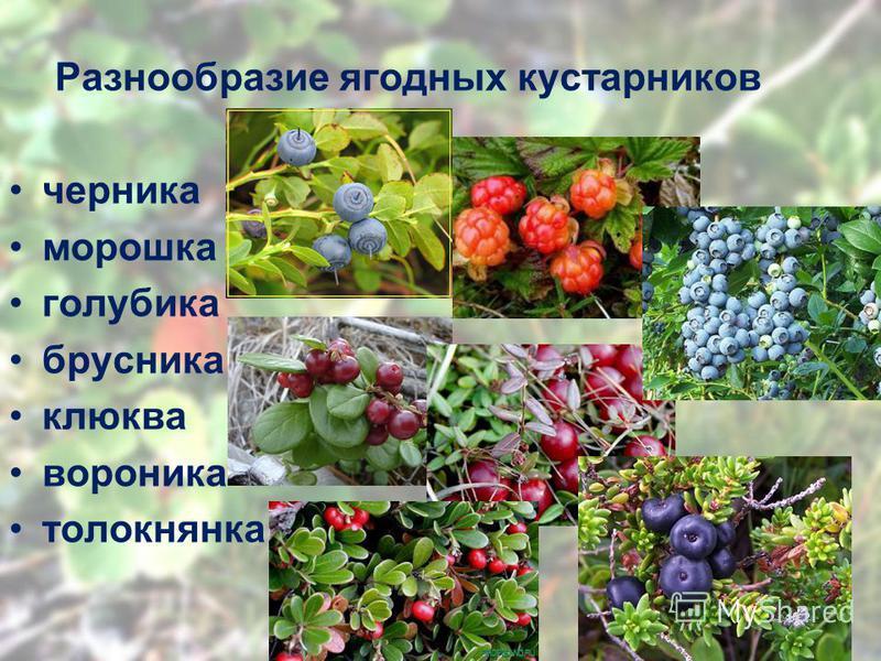 Разнообразие ягодных кустарников черника морошка голубика брусника клюква вороника толокнянка