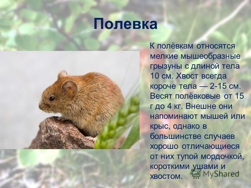 Полевка К полёвкам относятся мелкие мышеобразные грызуны с длиной тела 10 см. Хвост всегда короче тела 2-15 см. Весят полёвковые от 15 г до 4 кг. Внешне они напоминают мышей или крыс, однако в большинстве случаев хорошо отличающиеся от них тупой морд