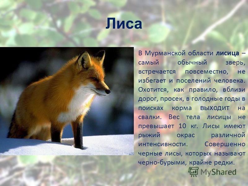 Лиса В Мурманской области лисица – самый обычный зверь, встречается повсеместно, не избегает и поселении человека. Охотится, как правило, вблизи дорог, просек, в голодные годы в поисках корма выходит на свалки. Вес тела лисицы не превышает 10 кг. Лис