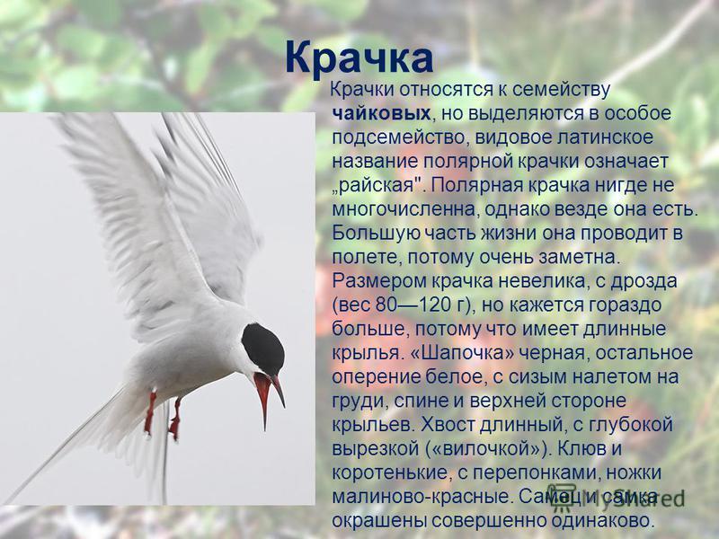 Крачка Крачки относятся к семейству чайковых, но выделяются в особое подсемейство, видовое латинское название полярной крачки означает райская