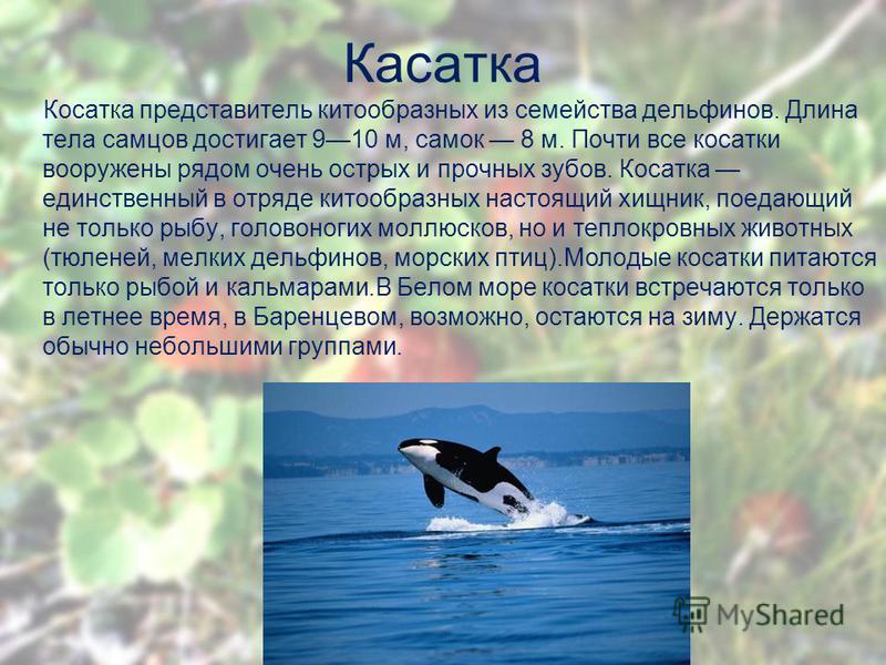 Касатка Косатка представитель китообразных из семейства дельфинов. Длина тела самцов достигает 910 м, самок 8 м. Почти все косатки вооружены рядом очень острых и прочных зубов. Косатка единственный в отряде китообразных настоящий хищник, поедающий не