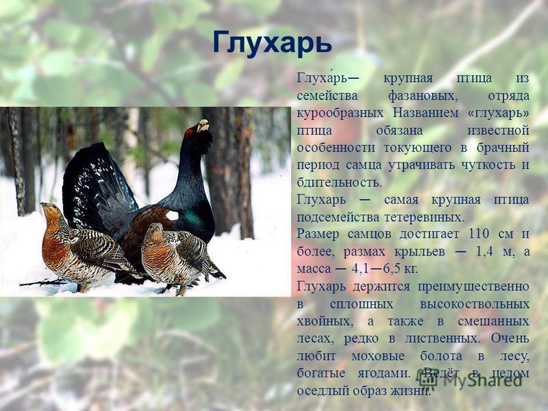 Глухарь Глуха́рь крупная птица из семейства фазановых, отряда курообразных Названием « глухарь » птица обязана известной особенности токующего в брачный период самца утрачивать чуткость и бдительность. Глухарь самая крупная птица подсемейства тетерев