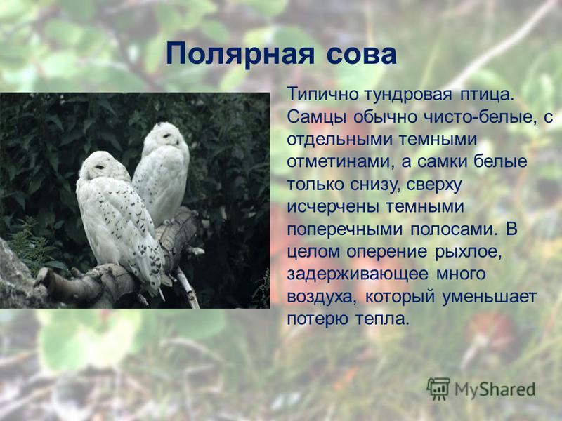 Полярная сова Типично тундровая птица. Самцы обычно чисто-белые, с отдельными темными отметинами, а самки белые только снизу, сверху исчерчены темными поперечными полосами. В целом оперение рыхлое, задерживающее много воздуха, который уменьшает потер