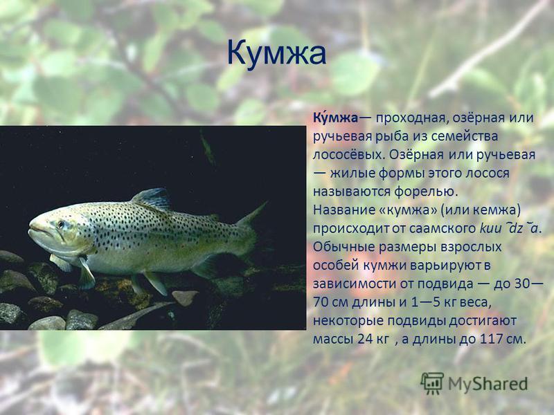 Кумжа Ку́мжа проходная, озёрная или ручьевая рыба из семейства лососёвых. Озёрная или ручьевая жилые формы этого лосося называются форелью. Название «кумжа» (или кемжа) происходит от саамского kuu dz a. Обычные размеры взрослых особей кумжи варьируют