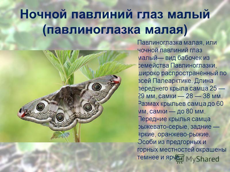 Ночной павлинии глаз малый (павлиноглазка малая) Павлиноглазка малая, или ночной павлинии глаз малый вид бабочек из семейства Павлиноглазки, широко распространённый по всей Палеарктике. Длина переднего крыла самца 25 29 мм, самки 28 38 мм. Размах кры